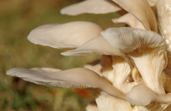 Oyster mushroom. Fresh Oyster mushroom grown in the cellar Stock Image