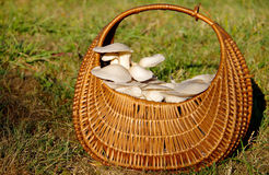 Oyster mushroom. Harvested in the cart stock images