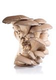 Oyster mushroom isolated Royalty Free Stock Image
