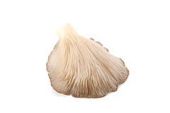 Oyster mushroom Royalty Free Stock Images