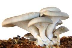 Oyster Mushroom Isolated White Background Stock Photography