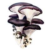 Oyster mushroom isolated on white background Stock Image