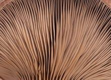 Oyster mushroom stock images