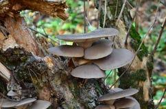 Oyster mushroom (Pleurotus ostreatus). Edible oyster mushrooms growing on the trunk of an old tree Stock Photo