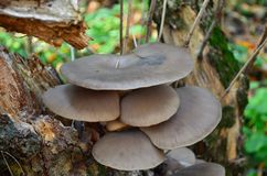 Oyster mushroom (Pleurotus ostreatus). Edible oyster mushrooms growing on the trunk of an old tree Royalty Free Stock Photos