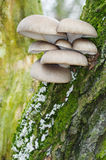 Oyster mushroom. (Pleurotus ostreatus) in natural environment Royalty Free Stock Photography
