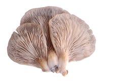 Oyster mushroom Pleurotus ostreatus Stock Photos