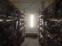 Oyster mushroom production plant royalty free stock photography