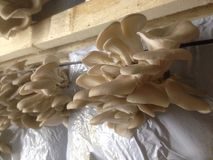 Oyster mushroom production plant Stock Photography