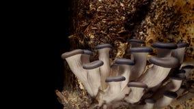 Oyster Mushroom Time-lapse stock footage