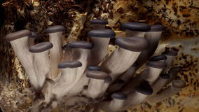 Oyster Mushroom Time-lapse stock video footage