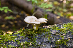 Oyster mushroom on the tree trunk Stock Photos