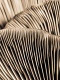 Oyster mushroom Royalty Free Stock Image