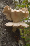 Oyster Mushrooms Stock Image