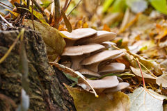 Oyster mushrooms Royalty Free Stock Images
