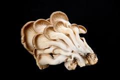 Oyster mushrooms Stock Photos