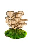 Oyster mushrooms Royalty Free Stock Photo