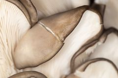 Oyster mushrooms as a background. close-up Royalty Free Stock Image