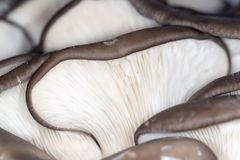 Oyster mushrooms as a background. close-up Stock Photo