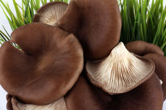 Oyster mushrooms brown Stock Photo
