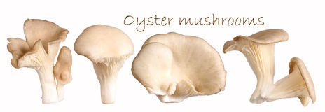 Oyster mushrooms Stock Photography