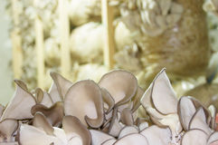 Oyster mushrooms cultivation Royalty Free Stock Image