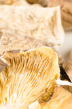 Oyster mushrooms Stock Photos