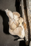 Oyster mushrooms fantastically shaped, growing from the substrate - rotten bag o Stock Photos