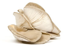 Oyster Mushrooms (fungus) stock image