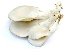 Oyster mushrooms. Hungarian Mushroom. Scientific name: Pleurotus ostreatus (jacq.ex Fr.) Kumn. Common name: white oyster mushrooms, oyster mushrooms, Oyster Stock Image