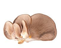 Oyster mushrooms Stock Image