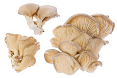 Oyster Mushrooms (Pleurotus ostreatus) Royalty Free Stock Images
