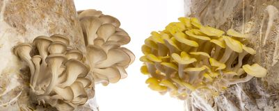Oyster mushrooms - Pleurotus ostreatus and Pleurotus cornucopiae. Growing on a sack with straw stock photo