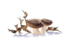 Oyster mushrooms  on a white background Stock Images