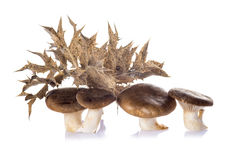 Oyster mushrooms  on a white background Royalty Free Stock Image