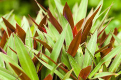Oyster plant Royalty Free Stock Photo