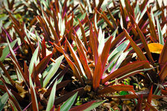 Oyster Plant Stock Photo