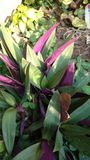 Oyster plant or tradescantia or rhoeo discolor. Tradescantia spathacea Boat-lily, Oyster Lily, Oyster Plant, White-flowered Tradescantia ;tight bush, shape like Royalty Free Stock Photo