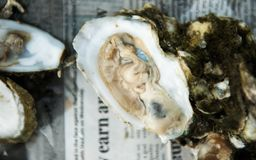 Oyster Roast with Raw Oysters on Half Shell. And red oyster knife with man`s hands stock images