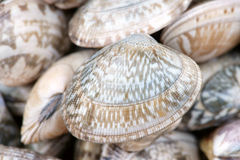 Oyster shell Stock Images