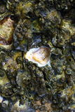 Oyster shell. Dead oyster near the beach royalty free stock images