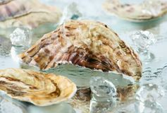 Oyster shell. In water with ice cubes royalty free stock photography