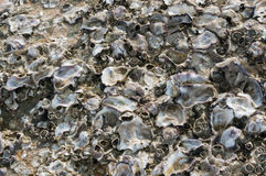 Oyster shell Royalty Free Stock Photo