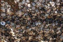 Oyster Shell stuck on rocks background stock photo