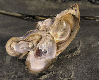 Oyster shell cluster on Jekyll Island, GA, Royalty Free Stock Image