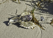 Oyster shell cluster #3: a natural sculpture Royalty Free Stock Photography
