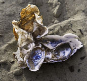 Oyster shell cluster: a natural sculpture Royalty Free Stock Photo