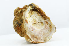Oyster shell fossil Stock Photos