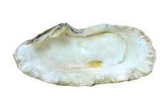 Oyster shell. Isolated on a white background Royalty Free Stock Photo
