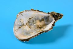 Free Oyster Shell On Blue Background Close Up Stock Image - 164278331